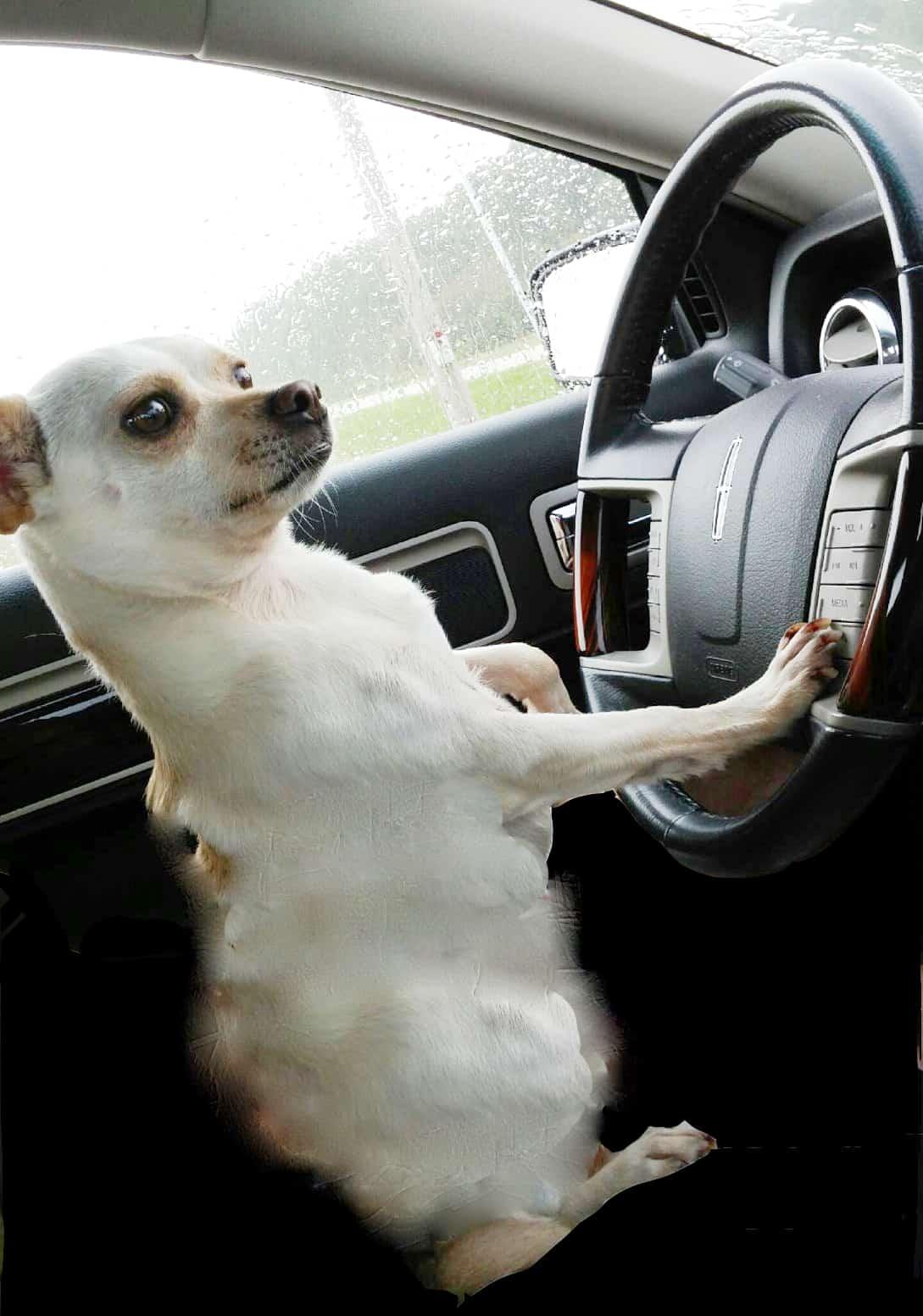 A dog driving a car.