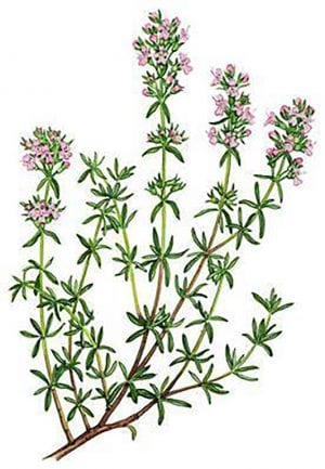 sprigs of thyme with blossoms.