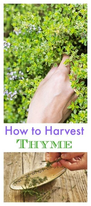 When you learn more ways of how to harvest thyme, you will find yourself using iot more often in your kitchen making your recipes even tastier, greener, and more delicious.