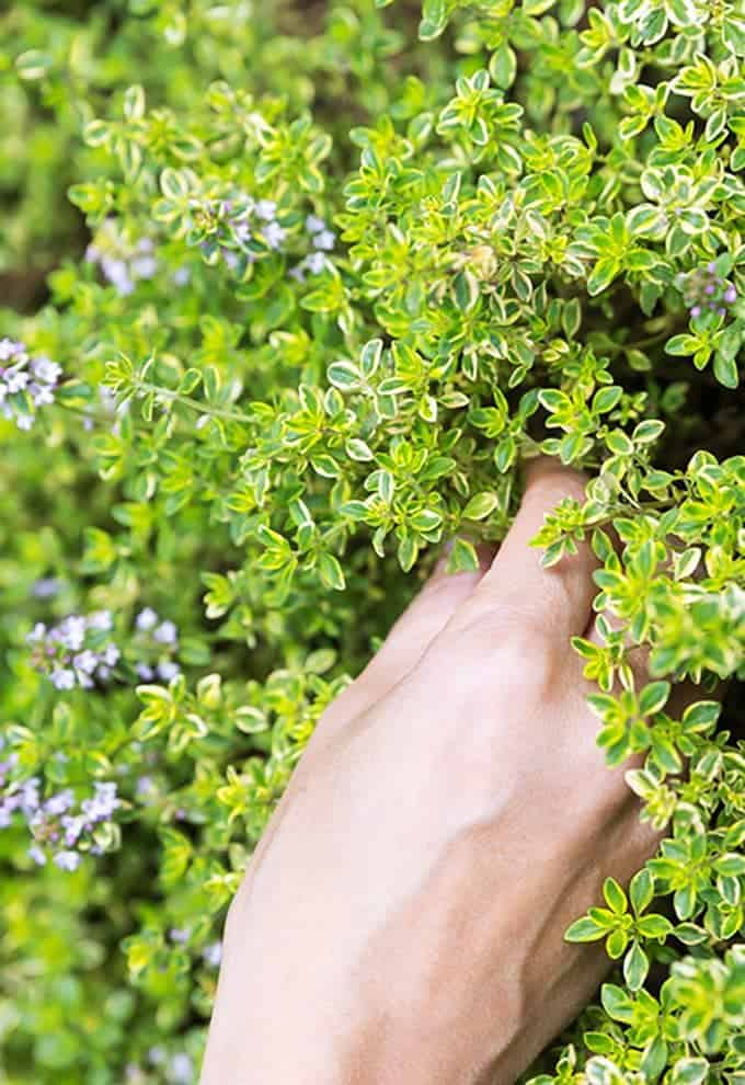 Harvesting thyme leaves with a hand.